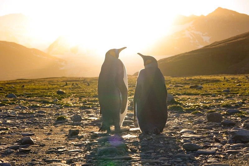 King penguin pair enjoying the sunset in South Georgia