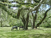 Horses under the oaks