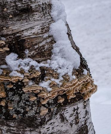 Lichens in the snow
