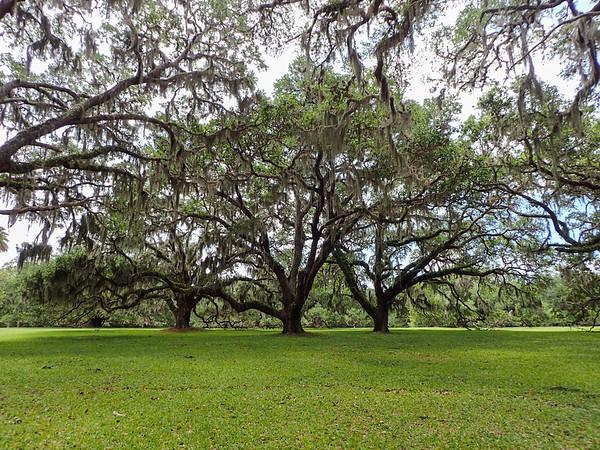 Live oak trio