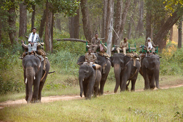 Indian elephants with mahouts