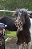Icelandic horse humor
