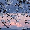 Snow geese in flight with Mount Baker background