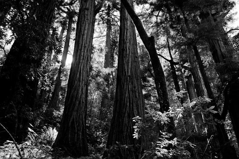 One of my favorite photos from Muir Woods.
