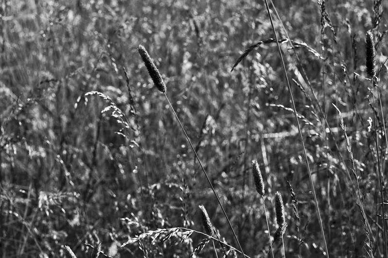 Tall coastal prairie grasses.