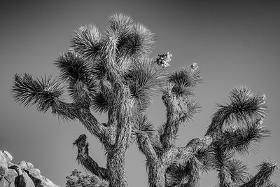 JoshuaTree2013-15-Edit