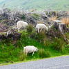 Brecon Beacon Sheep~0049-1.