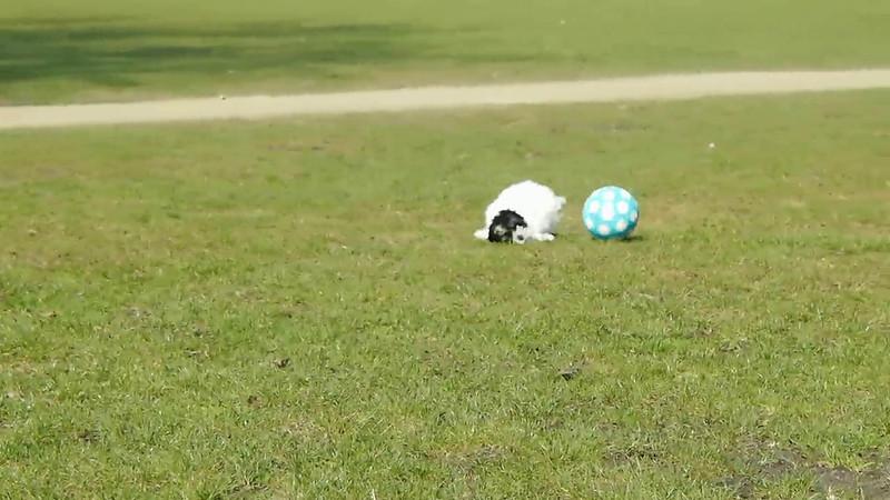 31 seconds during video of a sweet little dog playing with a ball. Hele korte video (31 seconden) van een lief klein hondje dat speelt met een bal