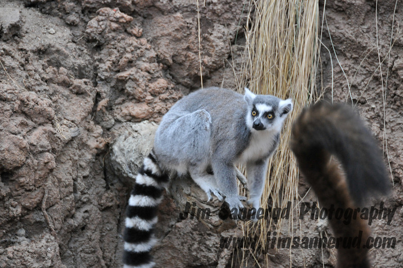 Lemurs in Madagascar exhibit at the Bronx Zoo, NY.