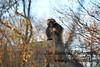 Gelada monkey, Bronx Zoo, NY.