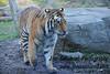 Tiger Mountain, Bronx Zoo, NY.