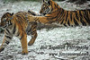 This tiger cub kept ambushing his smaller sibling. Bronx Zoo in the snow, December 26, 2012.