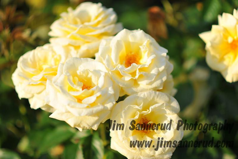 Roses at the NY Botanical Garden.