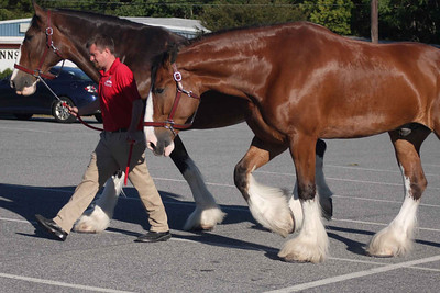 Clydesdales September 2013