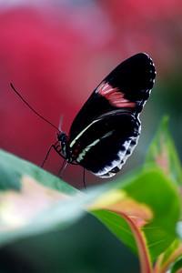 Fuscia Flutters