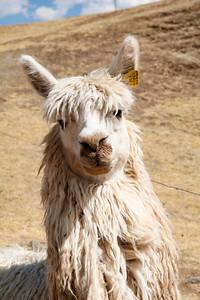 """The """"Cool Kid"""" Llama"""