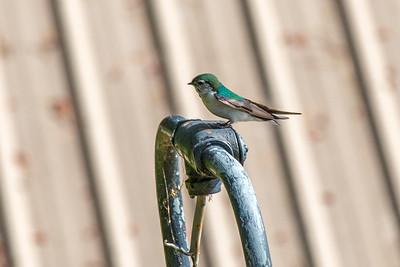Violet Green Swallow Surveying his Domain