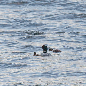 Adult Loon with 2 Children