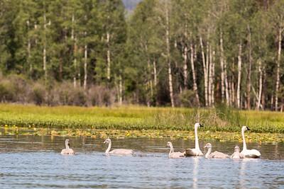 White Swan Family