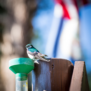 Violet Green Swallow on the Railing