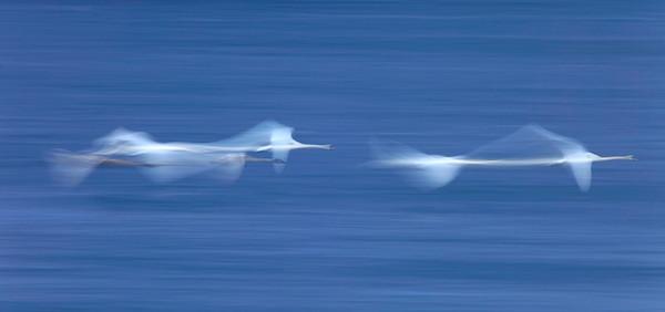 Flygande sångsvaner - Flying swans