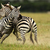 Two male Zebras fighiting to mate with the females.