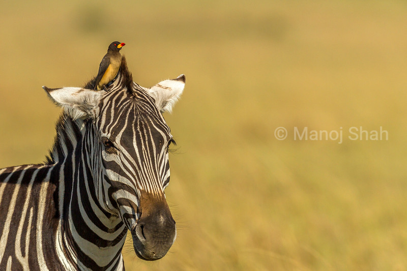 Yellow-Billed Oxpecker on top of a zebra's head in Masai Mara