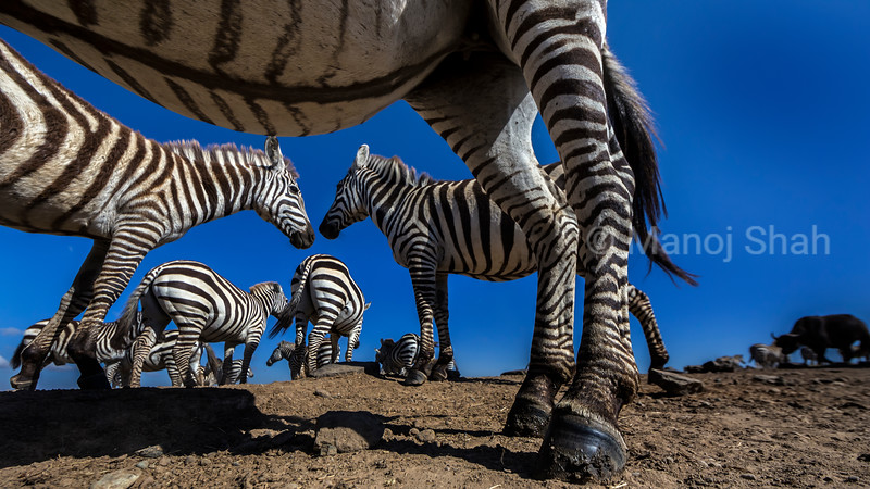 Zebras greeting in Laikipia.