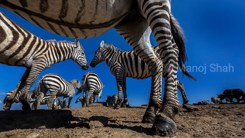 Zebras greeting in Laikipia.