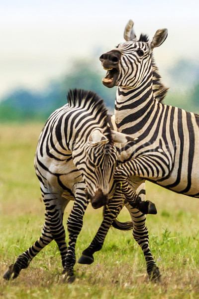 Male Zebra biting the rump of another male