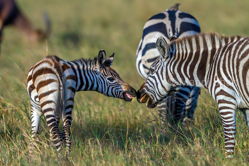 Zebra mother and baby greeting each other in Masai Mara.