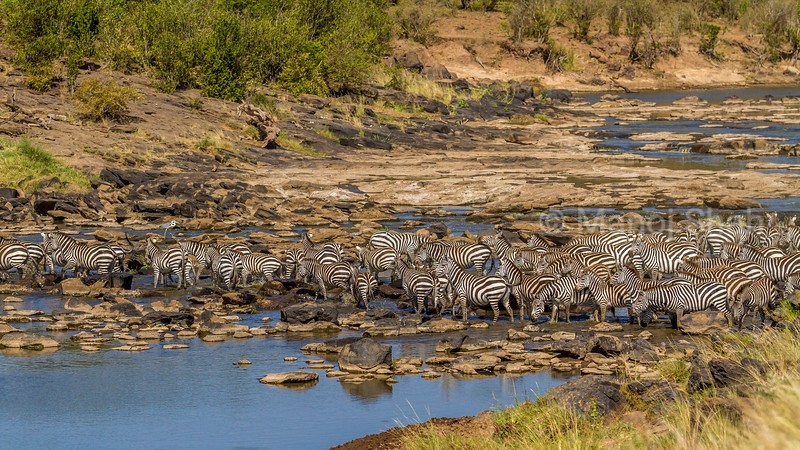 Zebra herd crossing Mara River in Masai Mara.