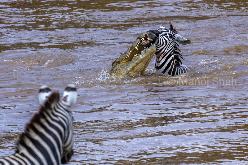 While crossing the Mara River, a Nile crocodile caught a zebra swimming to the opposite side.