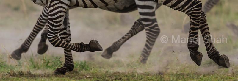 Zebra running legs