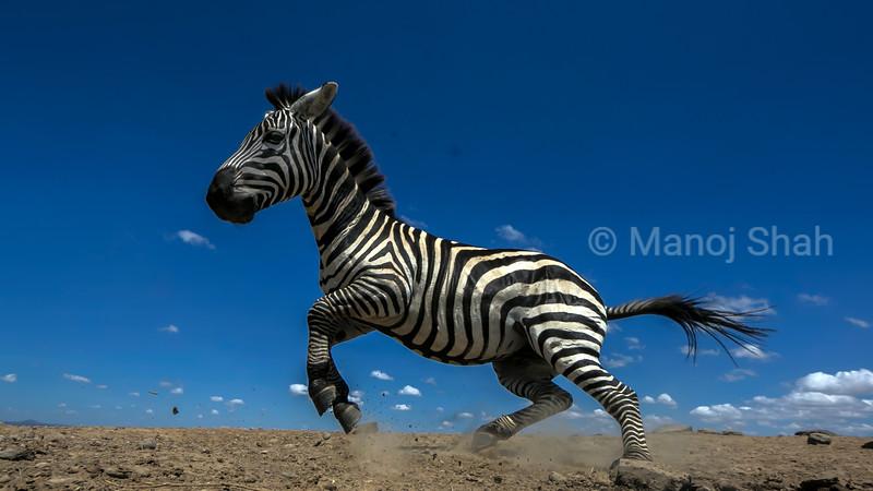 zebra running in Laikipia,