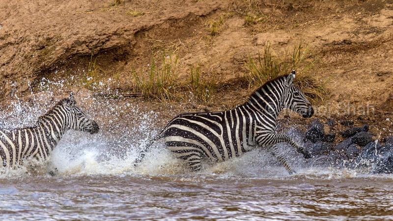 Zebras crossing the Mara river by running and splashing.