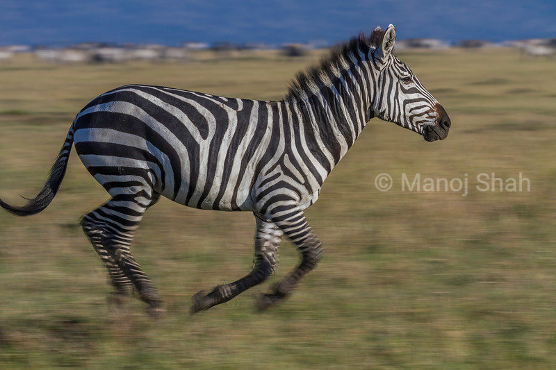 Zebra on the run in Masai Mara.