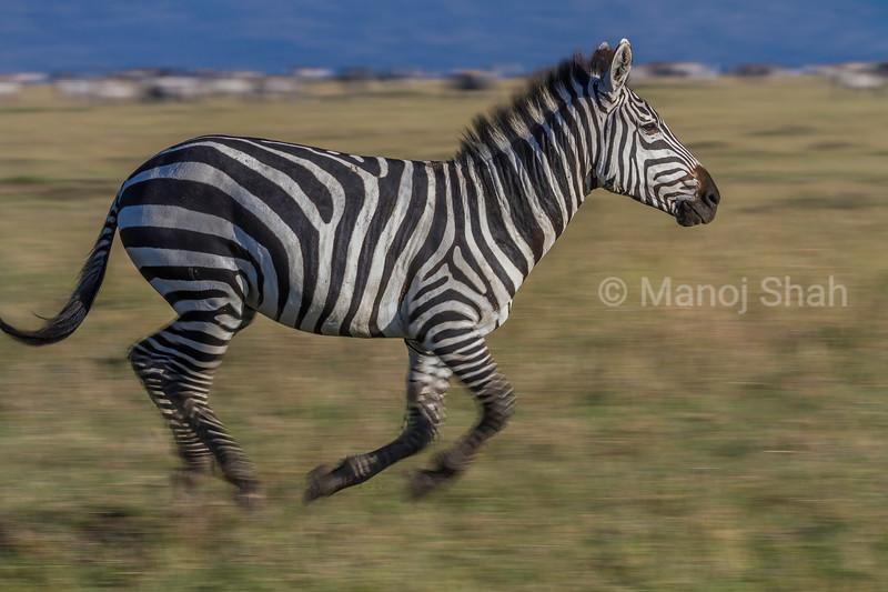 Zebra on the run in Masai Mara.