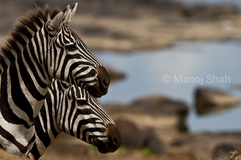 Zebras at Mara river crossing