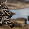 Zebras at Mara river crossing