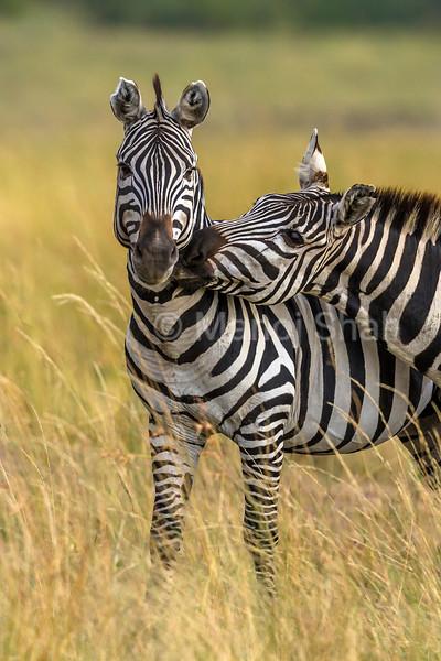 Zebras greeting in Masai Mara.