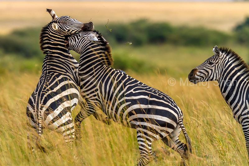 Male Zebras fighting for dominance in Masai Mara.