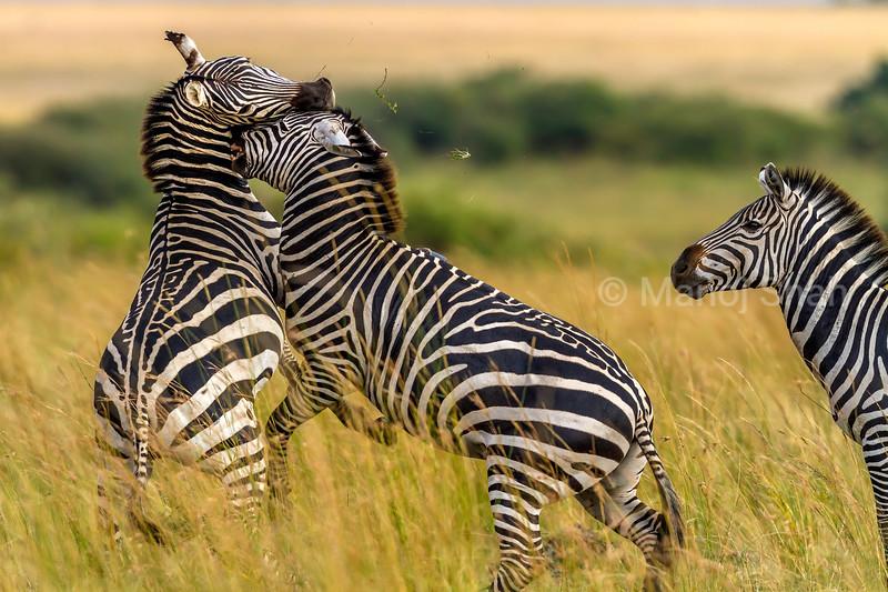 Male Zebras fighting for dominance in Masai Mara.