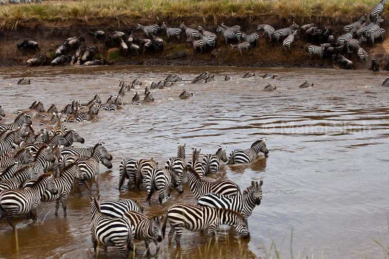 Wildebeest and Zebras crossing river