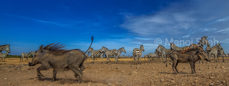 Warthogs amidst zebra herd in Laikipia savanna.
