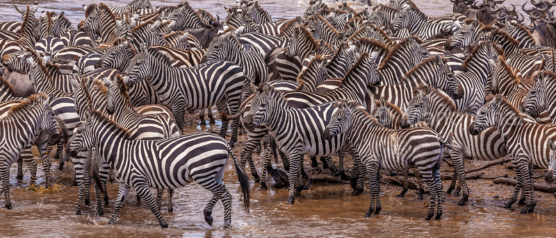 Zebras gathering at Mara River for crossing in Masai Mara.
