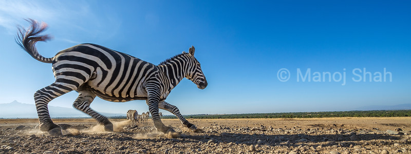 Zebra running ti join the herd in Laikipia savanna