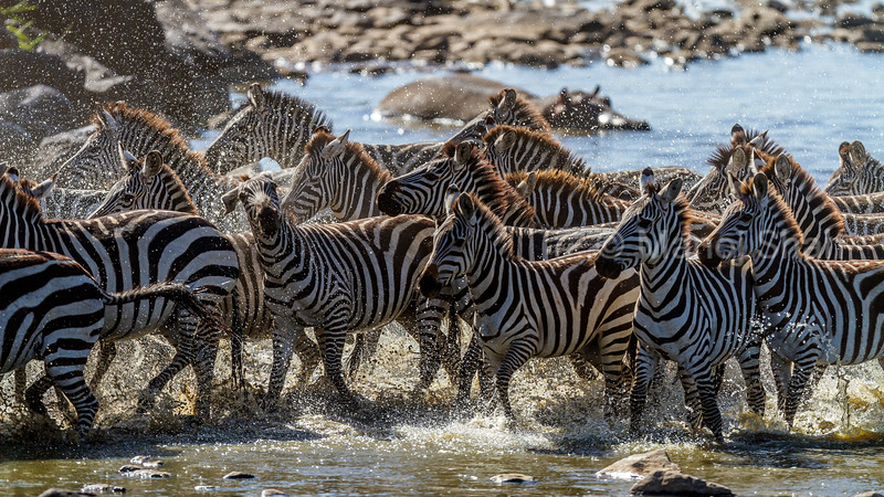 Zebra herd rushing through Mara River in Masai Mara.
