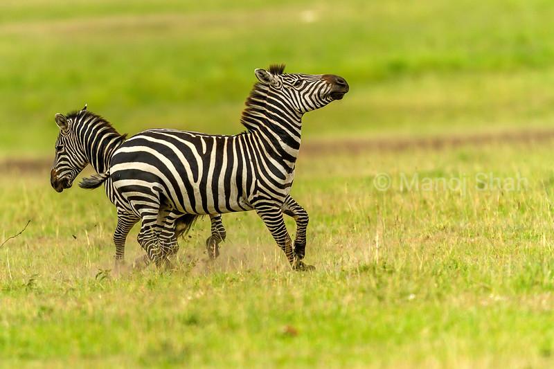 Zebras in a playful mood in Masai Mara savanna.