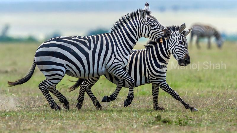 Zebras start duelling for supremacy in Masai Mara.